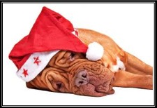 a tired, Christmas pooch